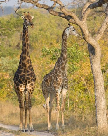 Giraffe「Giraffes standing under tree」:スマホ壁紙(0)