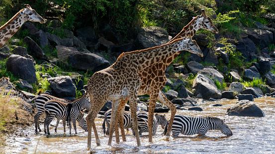 キリン「Giraffes start to cross」:スマホ壁紙(1)