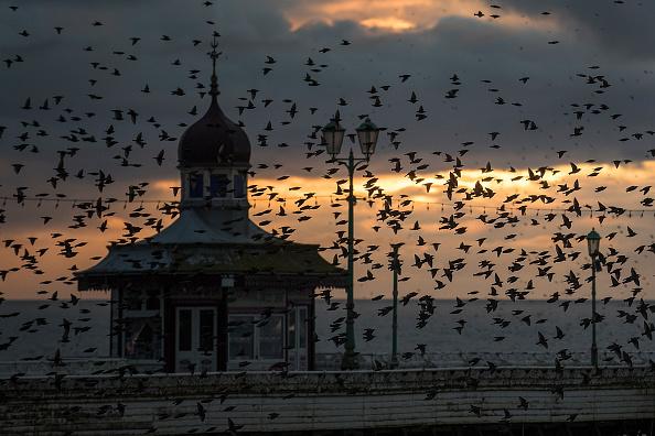 鳥「A Starling Murmuration Takes Place Over Blackpool」:写真・画像(4)[壁紙.com]