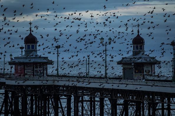 動物「A Starling Murmuration Takes Place Over Blackpool」:写真・画像(7)[壁紙.com]