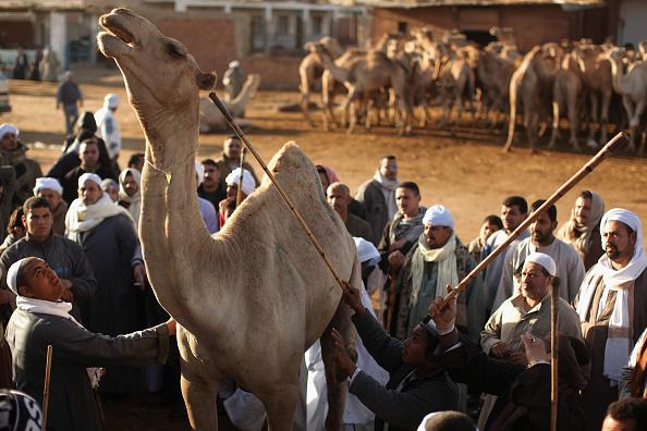 Human Arm「Thousands Of Camels Are Sold At Birqash Camel Market」:写真・画像(6)[壁紙.com]