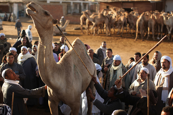 Human Limb「Thousands Of Camels Are Sold At Birqash Camel Market」:写真・画像(4)[壁紙.com]