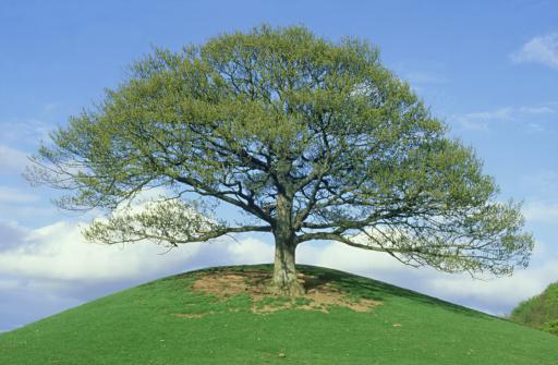 シリーズ画像「sessile oak quercus petraea isolated tree in spring foliage. mid-wales, uk」:スマホ壁紙(10)
