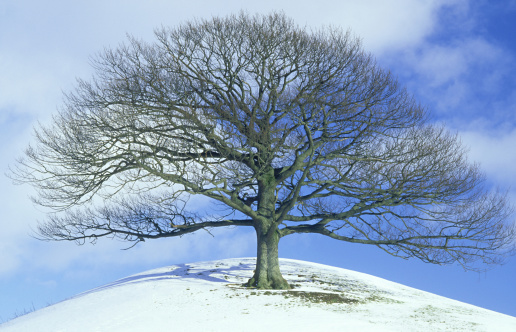 Part of a Series「sessile oak quercus petraea isolated tree in winter pasture land. mid-wales, uk」:スマホ壁紙(17)