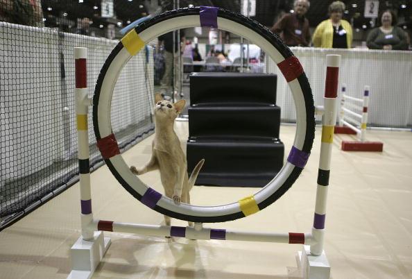 Kitten「Annual CFA International Cat Show Showcases Pedigreed Felines」:写真・画像(19)[壁紙.com]