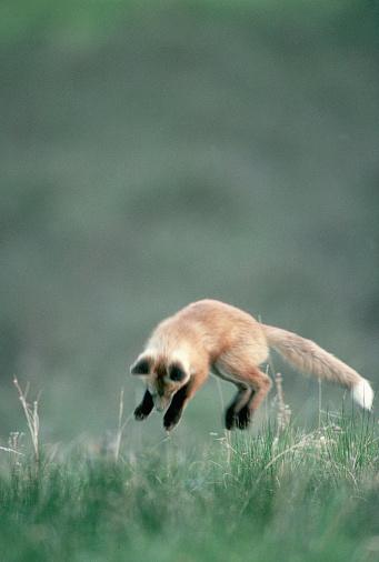 Pouncing「Red Fox Kit Pouncing on Mouse」:スマホ壁紙(18)