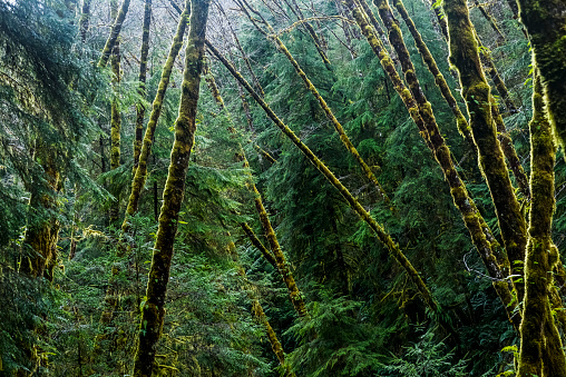 Cannon Beach「Red Alder trees grow with conifers」:スマホ壁紙(16)