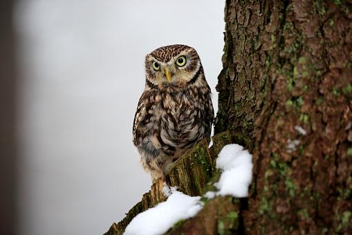 カメラ目線「Little owl, (Athene noctua)」:スマホ壁紙(8)