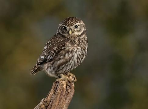 Bird「Little Owl」:スマホ壁紙(12)