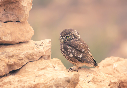 Bird of Prey「Little owl (Athene noctua) perched on dry stone wall, Morocco」:スマホ壁紙(15)
