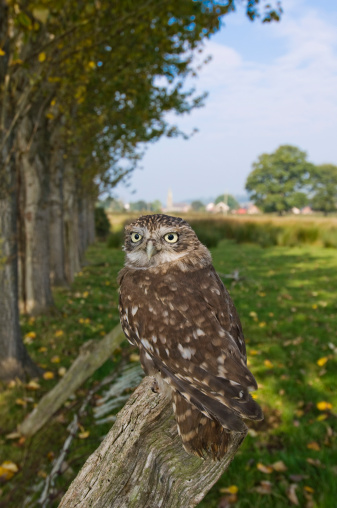 Frowning「Little owl (Athene noctua) on stump, Wales」:スマホ壁紙(10)