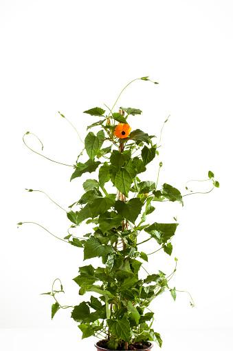 Creeper Plant「Black-eyed Susan vine, Thunbergia alata」:スマホ壁紙(9)