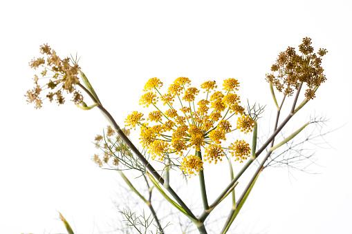 Fennel「Sweet fennel on white ground」:スマホ壁紙(16)