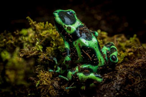 Frog「Poison Dart Frog」:スマホ壁紙(11)