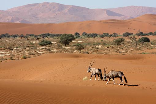 Namibia「oryx antelopes in the desert」:スマホ壁紙(17)