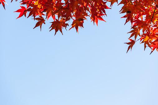 紅葉「Japanese Acer/Maple leaves in Autumn」:スマホ壁紙(0)