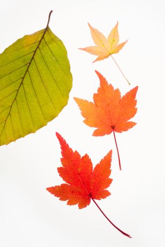 Japanese Maple「Japanese acer and beech leaves」:スマホ壁紙(6)
