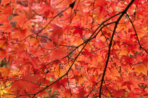Japanese Maple「Japanese acer tree in autumn colours, UK.」:スマホ壁紙(19)