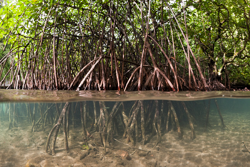 Shallow「Risong Bay Mangroves, Risong Bay, Micronesia, Palau」:スマホ壁紙(3)