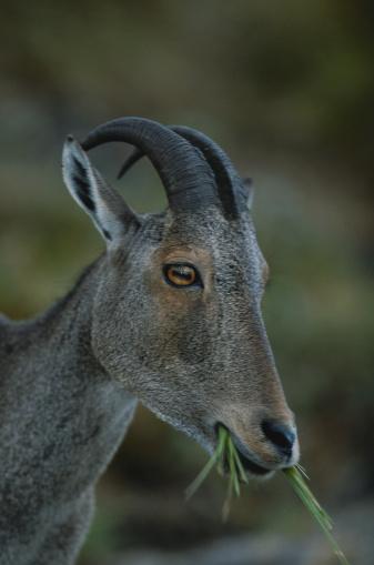Tahr「Nilgiri tahr (Hemitragus hylocrius) holding grass, close up, Eravikulam N.P, India」:スマホ壁紙(2)