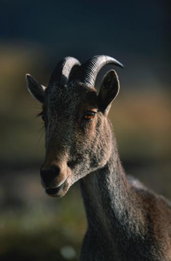 Tahr「Nilgiri tahr (Hemitragus hylocrius) watching, close up, Eravikulam N.P, India」:スマホ壁紙(6)