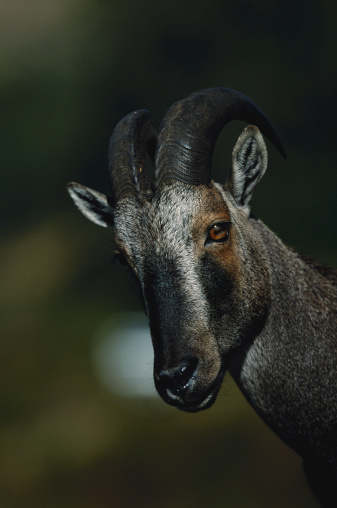 Tahr「Nilgiri tahr (Hemitragus hylocrius) watching, close up, Eravikulam N.P, India」:スマホ壁紙(5)
