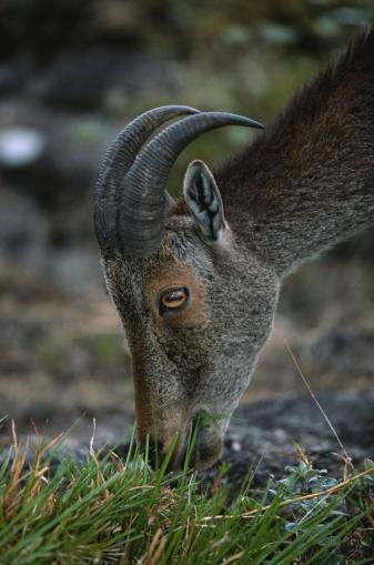 Tahr「Nilgiri tahr (Hemitragus hylocrius) grazing, close up, Eravikulam N.P, India」:スマホ壁紙(4)