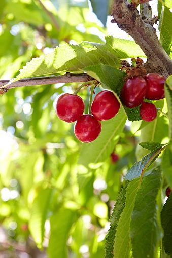 Vertical「Cherries growing on a tree」:スマホ壁紙(16)