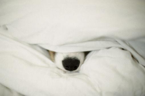 Duvet「Dog's Nose Sticking Out From Bedding」:スマホ壁紙(18)