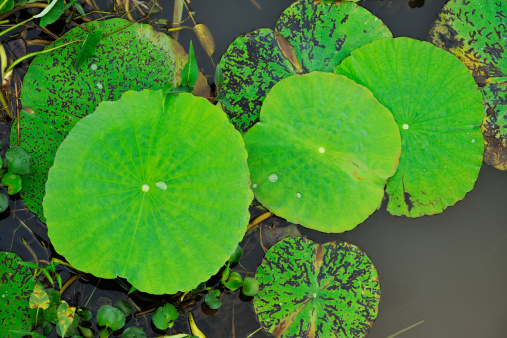 Water Lily「Lotus leafs with rain droplets in water」:スマホ壁紙(5)