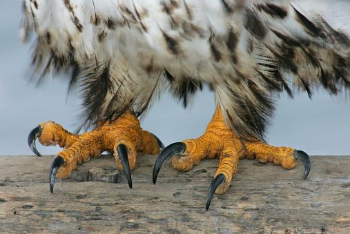 Bird of Prey「Talons of an Eagle」:スマホ壁紙(13)