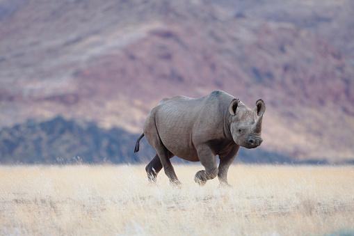 Rhinoceros「A desert-adapted black rhino stands at attention, Skeleton Coast」:スマホ壁紙(17)