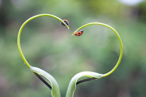 ハート「Ladybugs on plant, Biei, Hokkaido, Japan」:スマホ壁紙(2)