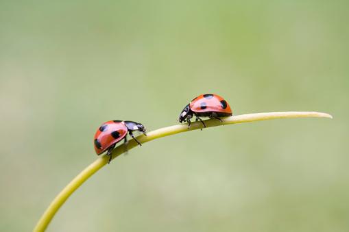 Ladybug「Ladybugs on stem, Biei, Hokkaido, Japan」:スマホ壁紙(17)