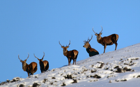 Animal Wildlife「Deer Forage For Food In Glen Clunie」:写真・画像(10)[壁紙.com]