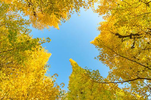 Meiji Jingu Gaien「Many autumn leaves Ginkgo Trees are glowing and shaking under the blue sky at the Ginkgo Tree Avenue in Jingu Gaien, Chhiyoda Ward, Tokyo Japan on November 17 2017.」:スマホ壁紙(13)