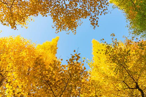 Meiji Jingu Gaien「Many autumn leaves Ginkgo Trees are glowing and shaking under the blue sky at the Ginkgo Tree Avenue in Jingu Gaien, Chhiyoda Ward, Tokyo Japan on November 17 2017.」:スマホ壁紙(12)