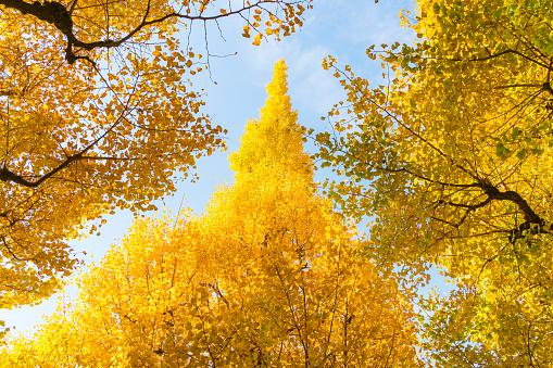 Meiji Jingu Gaien「Many autumn leaves Ginkgo Trees are glowing and shaking under the blue sky at the Ginkgo Tree Avenue in Jingu Gaien, Chhiyoda Ward, Tokyo Japan on November 17 2017.」:スマホ壁紙(14)