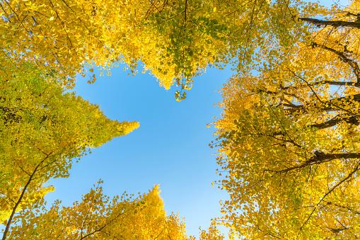 Meiji Jingu Gaien「Many autumn leaves Ginkgo Trees are glowing and shaking under the blue sky at the Ginkgo Tree Avenue in Jingu Gaien, Chhiyoda Ward, Tokyo Japan on November 17 2017.」:スマホ壁紙(15)