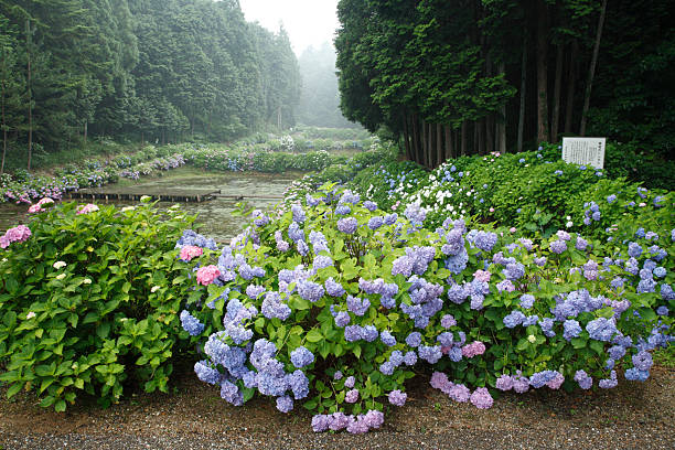 Hydrangea at Taishi-no-sato, Taki, Mie, Japan:スマホ壁紙(壁紙.com)