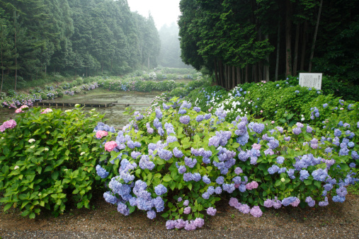 アジサイ「Hydrangea at Taishi-no-sato, Taki, Mie, Japan」:スマホ壁紙(2)