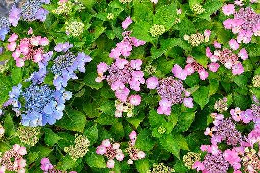 あじさい「Hydrangea arborescens, close up」:スマホ壁紙(19)