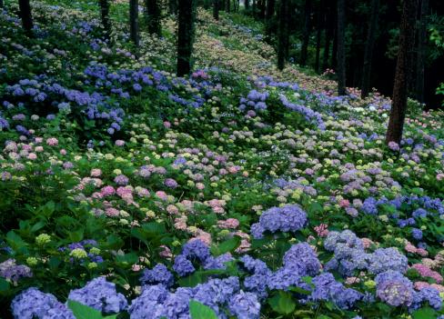 あじさい「Hydrangea at Mount Tenjou, Fujikawaguchiko, Yamanashi, Japan」:スマホ壁紙(5)