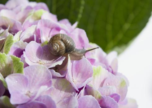 snails「Hydrangea and a snail」:スマホ壁紙(9)