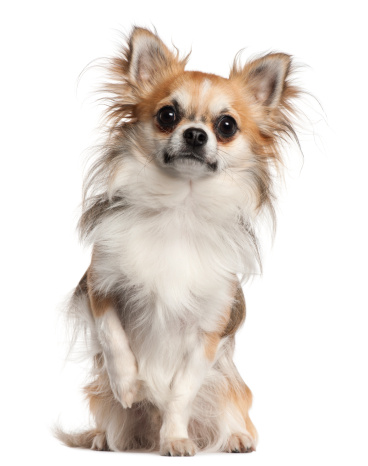 Chihuahua - Dog「Chihuahua (18 months old」:スマホ壁紙(9)