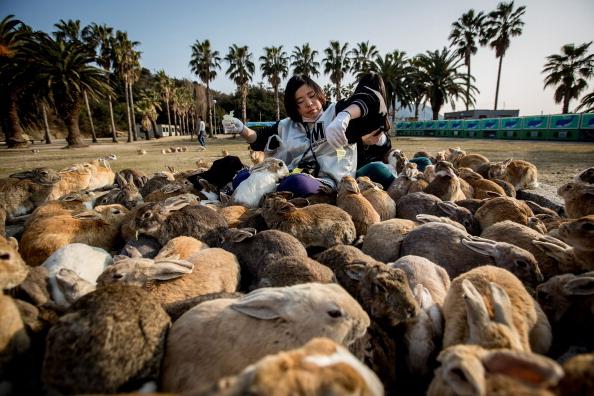 Rabbit - Animal「Bunnies Attract Tourists To A Japanese Islet Okunoshima」:写真・画像(5)[壁紙.com]
