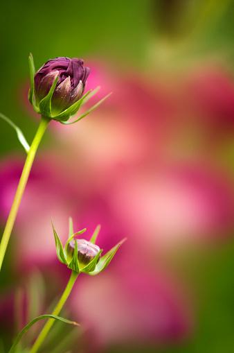 コスモス「Two Pink Cosmos Flower Buds. Mexican aster」:スマホ壁紙(5)