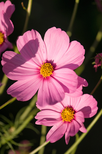 Cosmos Flower「Two Pink Cosmos Flowers. Mexican aster」:スマホ壁紙(1)