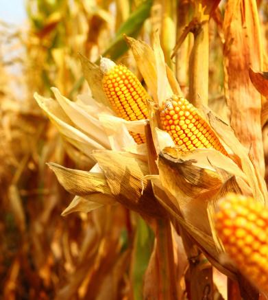 Harvesting「Golden ripe corn,closeup」:スマホ壁紙(13)