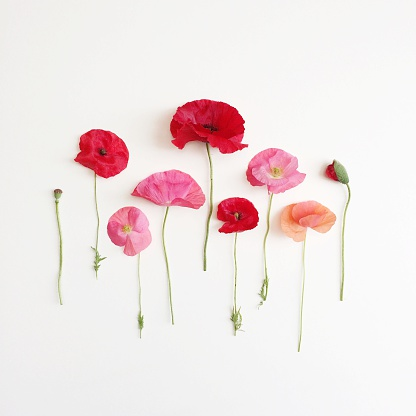 Uncultivated「Poppies lined up in a row」:スマホ壁紙(11)